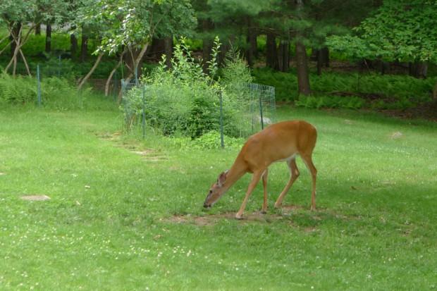 Fearless Deer